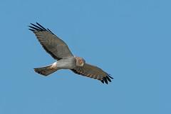Harrier in Flight #41 (lennycarl08) Tags: pointreyesnationalseashore raptor birdofprey birds northernharrier grayghost bird