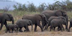 African Elephant family (leendert3) Tags: leonmolenaar southafrica krugernationalpark wildlife nature mammals africanelephant ngc npc naturethroughthelens coth coth5