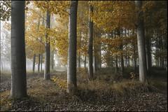 centinelas de la niebla (jotaaguilera) Tags: nikon d810 sigma2470mmf28exdg bosque wood forest landscape paisaje otoño autumn fall niebla fog foggy mist hoja leaf solitude soledad atmosfera atmosphere nature