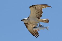 eastern osprey (Pandion cristatus) (johnedmond) Tags: perth westernaustralia osprey wildlife nature bird sky fish canon eos7d 100400mm 7dmkii ef100400mmf4556lisiiusm raptor