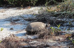 Gopherus polyphemus --  Gopher Tortoise 2747 (Tangled Bank) Tags: palm beach county florida wild nature natural outdoors gopherus polyphemus gopher tortoise pile sand shells dug from his burrow 2673 reptile