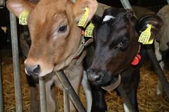 Olympic Malando & Olympic Big Malki (excellentzebu1050) Tags: newlife newborn birth dairycows dairyfarm dairycalves farm indoors calf animal animals animalportraits closeup coth coth5 sunrays5