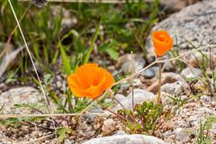 Two (davidseibold) Tags: america benaroad california californiapoppy canonrebelxsi flower grass jfflickr kerncounty nature photosbydavid plant poppy postedonflickr rock unitedstates usa wildflower