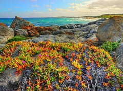 Pigface with a a view V (elphweb) Tags: hdr highdynamicrange nsw australia coast coastal pigface flowers succulent flower rock rocks rocky rockformation seaside water ocean waves