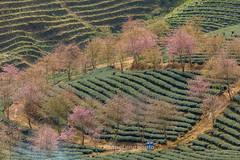 _29A1494.1218.Ô Qúy Hồ.Bản Khoang.Sapa.Lào Cai. (hoanglongphoto) Tags: asia asian vietnam northvietnam northwestvietnam landscape scenery vietnamlandscape vietnamscenery vietnamscene tree trees hill hillside treeshill flower teahill teatree canon canoneos5dsr canonef500mmf4lisiiusm tâybắc làocai sapa bảnkhoang ôquýhồ phongcảnh ngọnđồi đồicây đồitrè câychè sườnđồi maianhđào hoa maianhđàosapa phongcảnhsapa