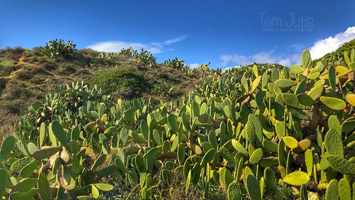 Prickly pear cactus field, Albufeira, Portugal - 2091