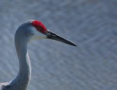 Sandhill Crane (sr667) Tags: sandhillcrane birds antigonecanadensis florida animalia chordata aves gruiformes gruidae antigone acanadensis