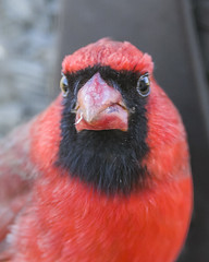 What you looking at? (Yer Photo Xpression) Tags: ronmayhew canoneos6dmarkii northerncardinal red bird male beak feather
