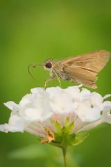 Nectar Time (Connoisseur.Rohit) Tags: nectar butterfly flowers garden florafauna macroshot macro macrophotography closeups details nature green tokina nikon
