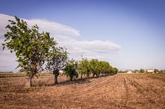 Nel mezzo del nulla (fabiom277) Tags: ghedi brescia lombardia italia italy trees alberi grano campi natura nature sky