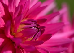 friday's flower power (Sabinche) Tags: dahlia flower fridaysflowerpower ffp