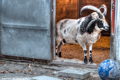 Damien - Jacob sheep - Turtle Back Zoo, New Jersey (LaurieD326) Tags: sheep farm jacobsheep farmanimals pettingzoo zoo animal animals newjersey domesticsheep domesticanimals wool hdr