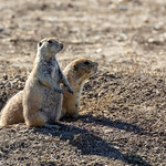 Prairie Dogs on the watch