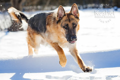Picture of the Day (Keshet Kennels & Rescue) Tags: adoption dog ottawa ontario canada keshet large breed dogs animal animals pet pets field nature photography winter snow german shepherd play run hop