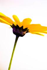Silence (leopc.lin) Tags: summilux 50mm 14 voigtalnder ve close focus adapter kenko dg extension tube16mm10mm sony a6000 nex flower macro leica closeup floral garden