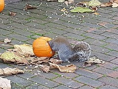 Squirrel pumpkin feast (sarflondondunc) Tags: squirrel pumpkin halloween dickensestate southwark london wildlife