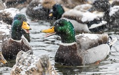 Happy Ducks (Karen_Chappell) Tags: bird nature duck snow snowing snowy weather animal mallard green white brown yellow newfoundland nfld stjohns bowringpark canada atlanticcanada avalonpeninsula eastcoast outdoors pond water