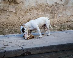 morning meal (aprilpix) Tags: animal architecture building cityscape cuba cubaroadtrip dog havana oldtown streetscene urban