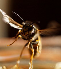 Bye bye ! (Ellenore56) Tags: 16112018 wespe wespen yellowjacket wasp echtewespe vespinae hornet papierwespen insekt byebye fliegt fly flying insect stinger tier animal animals lebewesen creature tierwelt fauna natur nature detail moment augenblick sichtweise perception perspektive perspective reflektion relection reflexion farbe color colour licht light inspiration imagination faszination magic magical sonyslta77 ellenore56 emotion