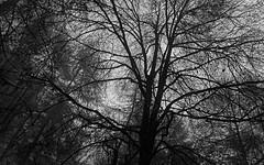 Beech in the Mist (ShinyPhotoScotland) Tags: art photography equipment camera lens nature weather places scotland perthshire light landscape emotion rawconversion manipulated composite hdr seasonal enfuse digikam flora toned contentment shapeandform lines autumn trees intimatelandscape calm rawtherapee raw pure filigree darktable moody dulllight dunkeld thehermitage abstractqualities monochrome blackandwhite birch gloomy atmospheric fuji twig fujixh1 fuji18mmf20