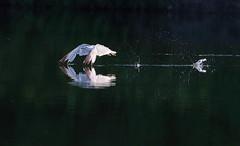 Ring-billed Gull skimming over the lake (Daniel Q Huang) Tags: bird water lake flight seagull skimming blur sunrise