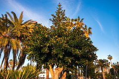 2019-01-15-Puerto de la Cruz. A rubber tree in the city you can see here more often. Rubber trees are often planted here and often. (felizphoto) Tags: puertodelacruz tenerife canaryislands spain travel rubbertree plant botany leaves growth ficuselastica nature plantleaves green treetrunk palmtrees sky crownoftrees woody limb branches evening eveningmood santacruzdetenerife