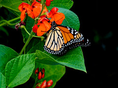 The Majestry of the Monarch (Steve Taylor (Photography)) Tags: monarchbutterly runnerbeans insect butterfly black green red orange contrast newzealand nz southisland canterbury christchurch northnewbrighton plant flower vegetable