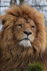 African lion @ Dierenrijk 31-03-2018 (Maxime de Boer (2)) Tags: rob henk mike african lion afrikaanse leeuw panthera leo big cats katachtigen aap monkey dierenrijk nuenen animals dieren dierentuin zoo gods creation schepping