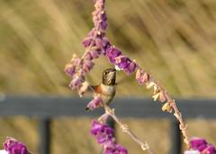 DSC_0142 (tracie7779) Tags: allenshummingbird mexicanbushsage ranchopalosverdes terranearesort bird california