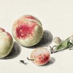 Peaches anda plum by Elisabeth Geertruida van de Kasteele, after Michiel van Huysum (1700-1800). Original from The Rijksmuseum. Digitally enhanced by rawpixel. thumbnail