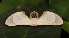 Bombycid Silkmoth (Gnathocinara situla, Bombycidae), female (John Horstman (itchydogimages, SINOBUG)) Tags: insect macro china yunnan itchydogimages sinobug entomology canon moth lepidoptera silkmoth bombycidae white tumblr