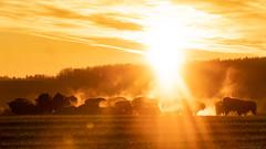 jesień 2018 (1 of 1)-2 (Stach_Trach) Tags: sony a99ii tamronsp150600mmf563divcusdg2 bisons żubry sokólszczyzna krynki szudziałowo podlasie podlaskie polska