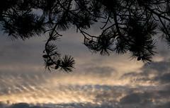 Winter Sky....(3 of 3) (+Pattycake+) Tags: eastcoast leaves winter offseason 10dec18 mackerelsky street pinecone clouds sky pinecones felixstowe evening seaside blue panasonic british uk outdoor landscape mirrorless 43 vario1445mm