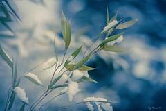 Bambou en hiver (Pyc Assaut) Tags: bambou en hiver bambouenhiver winter bamboo végétation neige snow bleu blanc white pyc5pycphotography pyc5pyc pycassaut pierreyvescugni pierreyvescugniphotography suisse switzerland swiss froid cold nikon z 6 nikonz6 z6