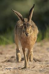 Lepre (Ricky_71) Tags: hare summer swamp mammals nikon