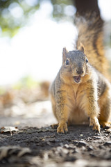 Alas, Old Man Quiggens is not about to let the Christmas spirit bring him to share his breakfast with anyone. (HellaDamnSquirrels) Tags: squirrels rodent oakland lake merritt hella damn