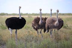 Ostrich opera (Nicolas Rénac) Tags: ostrich autruche singing girlsband bird namibia etosha animal wildlife wild 6d