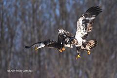 Two juvenile Bald Eagles. (Trevdog67) Tags: juvenile baldeagle bald eagle sheffieldmills novascotia canada nikon sigma nikondd7500 sigma150600mm nature birding
