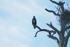 Immature Eagle (Fido Cat) Tags: nature frippisland southcarolina birds storks woodstork herons greenheron midnightheron egret