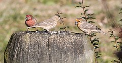 2 males and a female  House Finch (Moon Rhythm) Tags: birds easternshoremaryland eastcoast 38075h8 housefinch haemorhousmexicanus pondlife pondgarden pondfeeder maryland backyardnature backyardbirds yardbirds yellow red ridgely carolinecounty