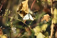 Pieris (esta_ahi) Tags: lasaulonera mariposa papallona butterfly pieris pieridae lepidoptera insectos fauna olèrdola penedès barcelona spain españa испания