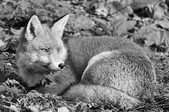 The Alert Fox.... (markwilkins64) Tags: fox mono monochrome blackandwhite nature animal wildlife markwilkins