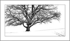 Die alte Eiche (The old oak tree) (alfred.hausberger) Tags: golfplatz schnee lederbach winter eiche oaktree