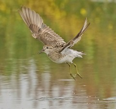 Sharp-tailed Sandpiper (oliverred) Tags: fantasticnature naturethroughthelens alittlebeauty coth coth5