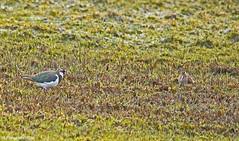 Vanellus vanellus & Gallinago gallinago-Lapwing & Snipe (margaretc1946) Tags: snipe ashleworthham pentaxk3 sigma150500mmlens