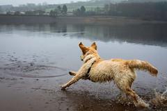 Cold, grey & err...golden morning (Leebobabyjnr) Tags: d7200 underbankreservoir stocksbridge sheffield dogs puppy goldenretriever