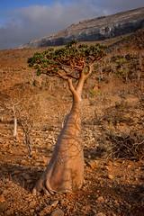 Socotra Bottle Tree (Rod Waddington) Tags: yemen socotra island bottle tree nature mountain landscape yemeni plant