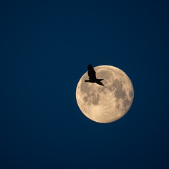 Bird moon (david.travis) Tags: bird sky moon bluehour astrophotography