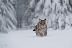 Lynx lynx (JirikD) Tags: 2019 nikond850 lynx rys savci mammals zvířata animal příroda zima winter bigcat cub les mládě nature sníh snow šelmy tamronsp7020028g2 zvíře forest