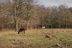 "Gareth's Photo of the Week 2019-01-18 ""Ponies on Bartley Heath"""